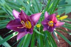 Daylillies-purple