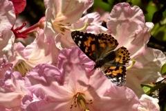 Rhod-PinkwButterfly