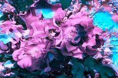 Goya-roses2